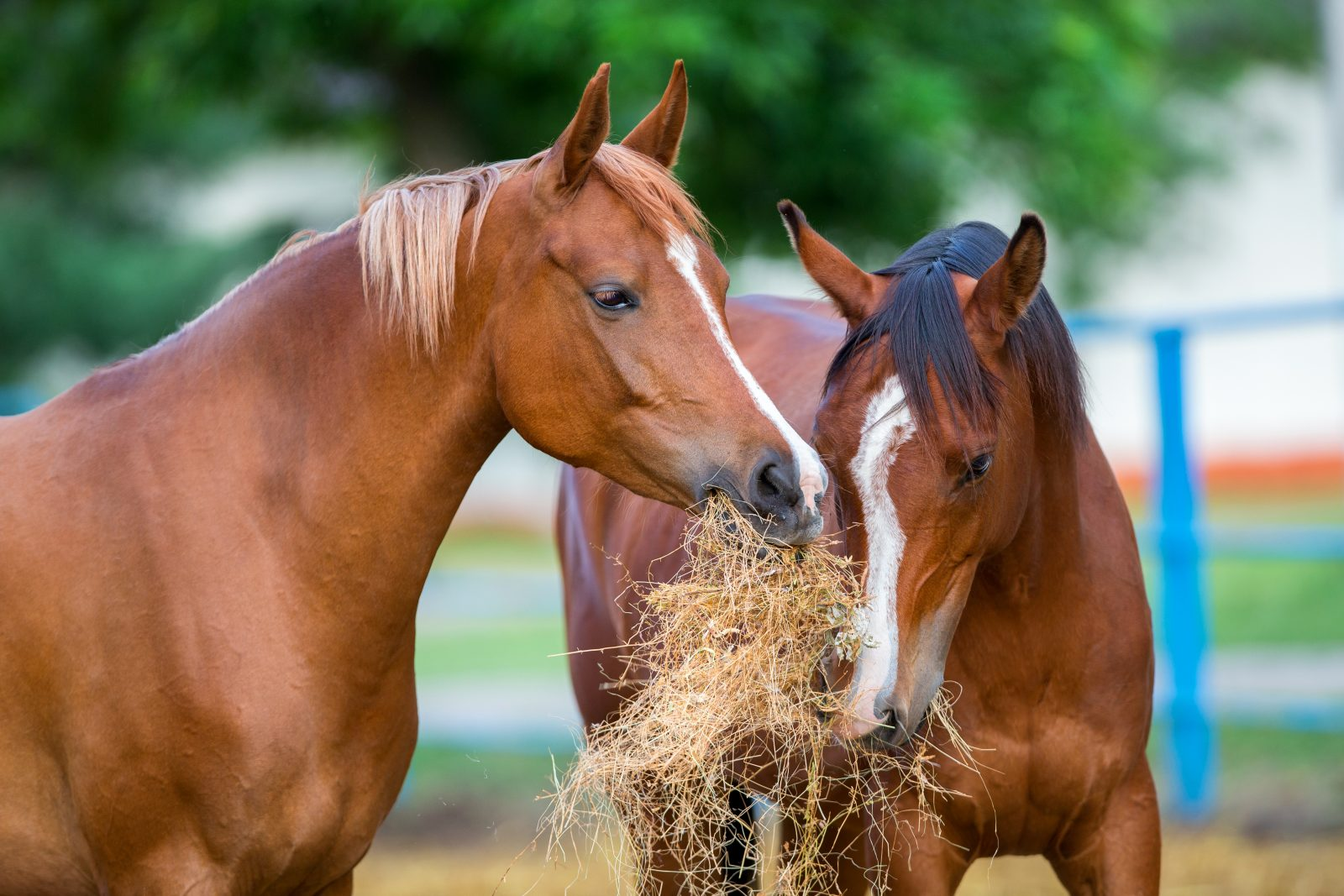 equine senior feed