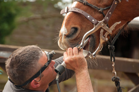 Equine dentist floating a retired horse's teeth